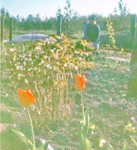 Тюльпаны и топинамбур