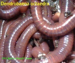 Дождевые черви - виды
