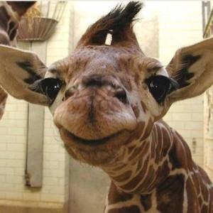 «Жираф большой - ему видней» В.С. Высоцкий