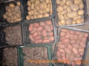 2 Картофель урожай 2015