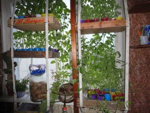 Зимний урожай на подоконнике