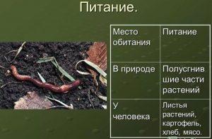 Чем кормить дождевых червей