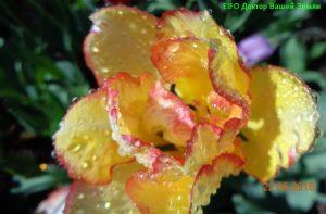 Желтый с розовой каёмкой