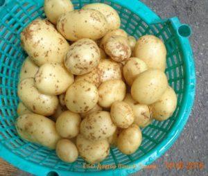 Картошка-0