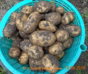 Картошка-7