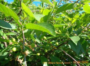 Чай из листьев вишни польза и вред