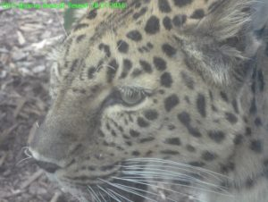 Леопард за стеклом 1
