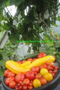 Цукини избелла помидоры