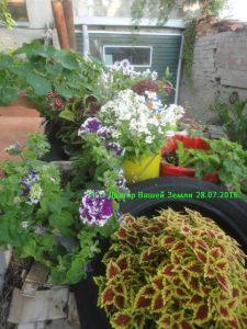 Цветы на верми септике 7