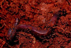 kaliforniyskiy-cherv-proizvoditel-biogumusa