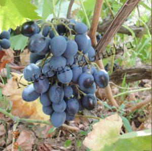 Практика природного земледелия на садовом участке - виноград