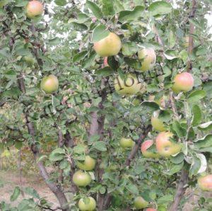 Практика природного земледелия на садовом участке - яблоня