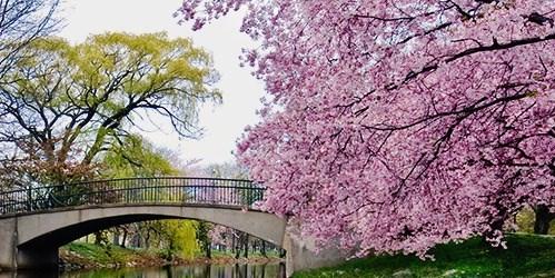 Красивые фото цветов сакуры