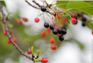 Японская сакура плоды