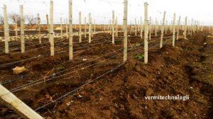 Укрытие винограда землёй