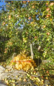 Сохранить яблоки